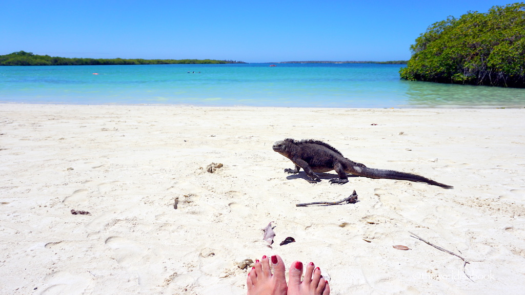 Tortuga Bay Galapagos marine iguana