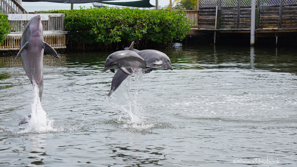 Dolphin jumping at Dolphin Research Center