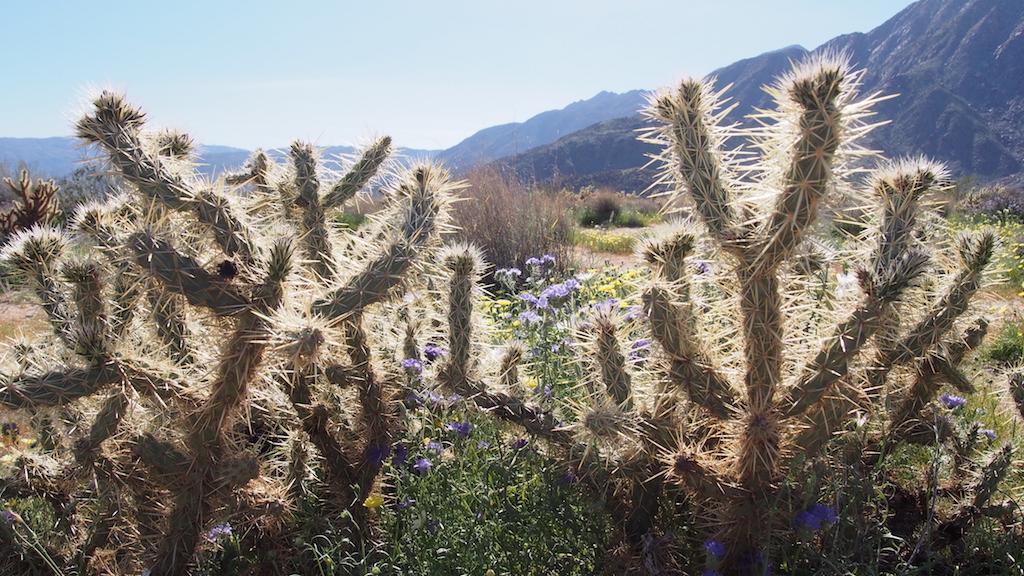 Borrego Springs cactus