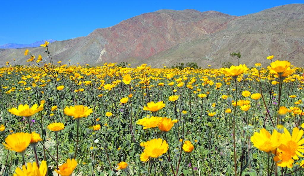 Viewing desert blooms metal art at borrego springs california borrego springs wildflowers mightylinksfo