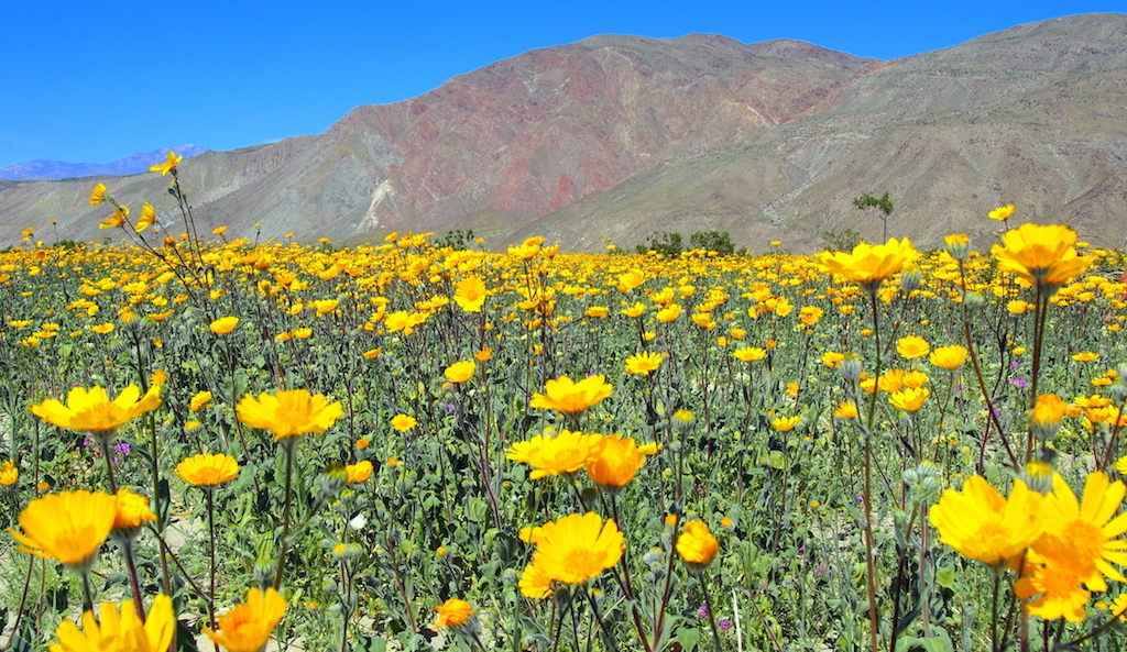 Borrego Springs wildflowers