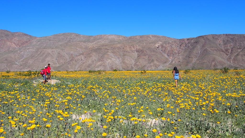 Viewing desert blooms metal art at borrego springs california borrego springs wildflowers mightylinksfo Images