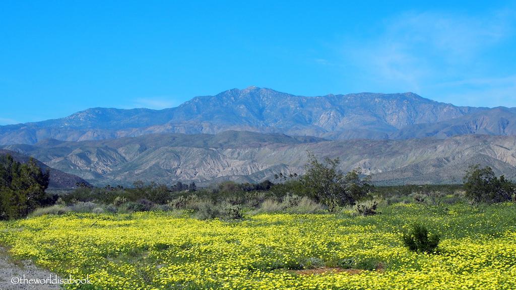 Borrego Springs yellow flowers