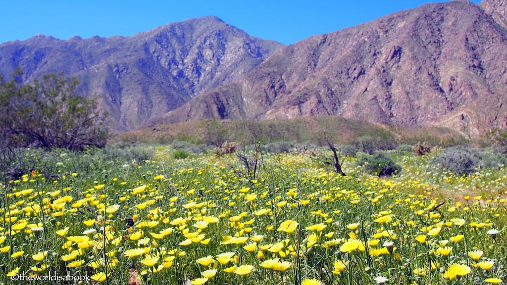 Borrego springs desert wildflowers