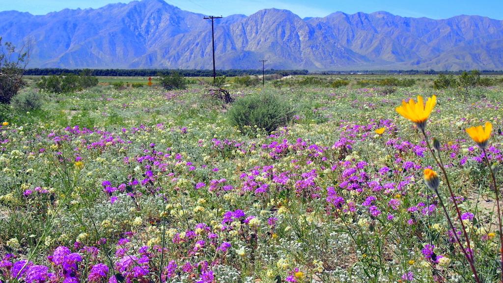 Viewing desert blooms metal art at borrego springs california borrego springs verbena mightylinksfo