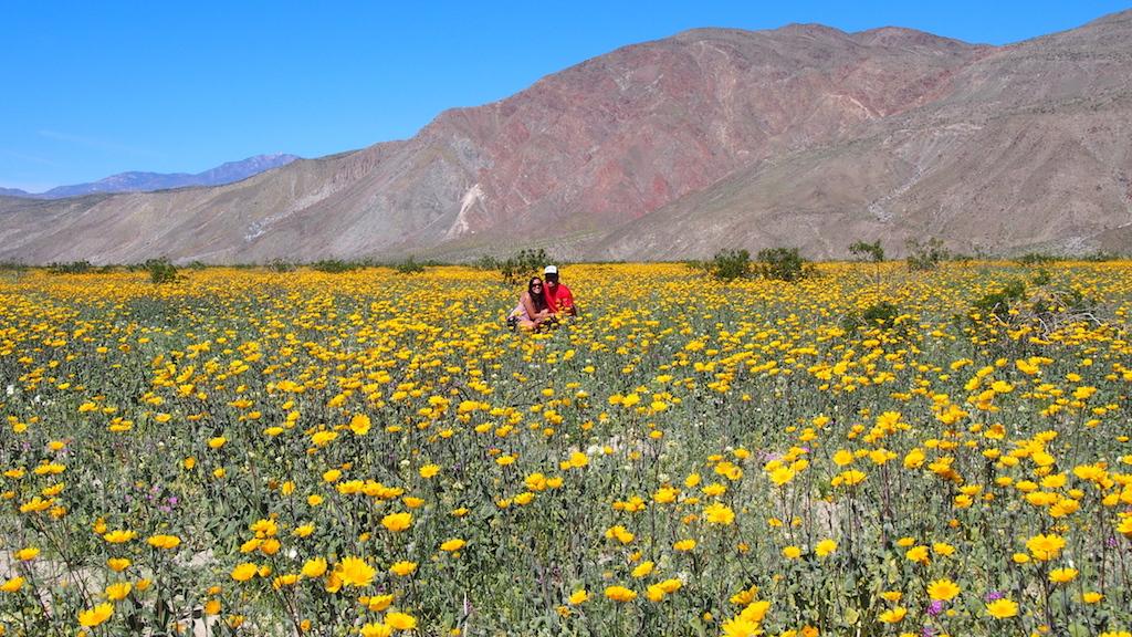 Borrego Springs super bloom wildflowers