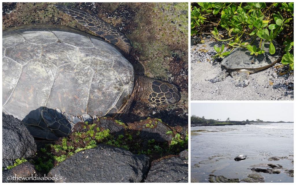 Kaloko Honokohau green sea turtles