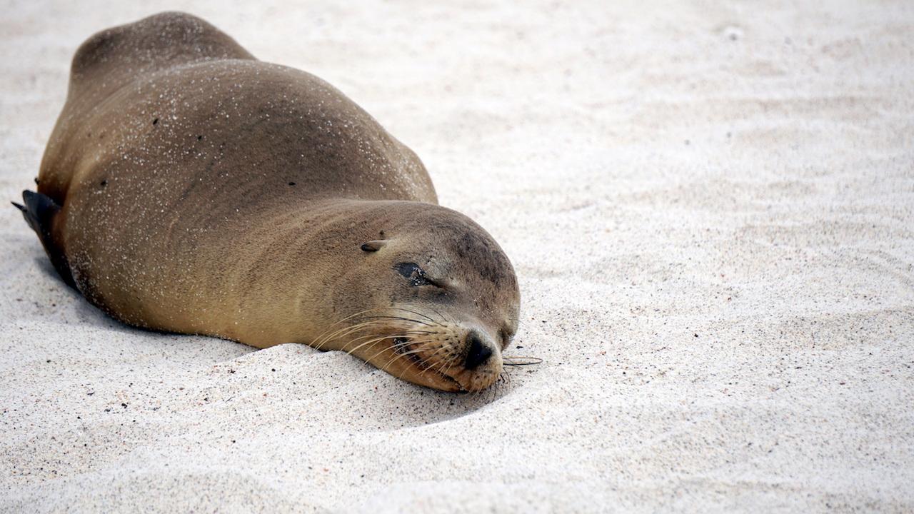 Galapagos sleeping sea lion
