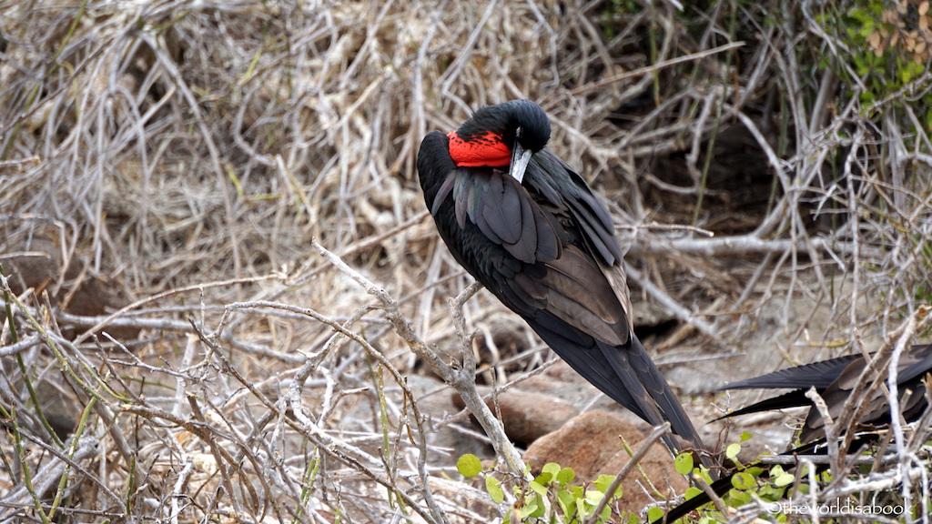 Galapagos North Seymour Island frigate bird