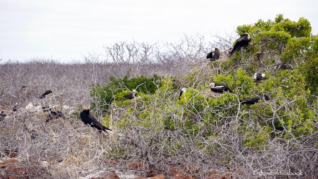 Galapagos North Seymour Island frigatebirds