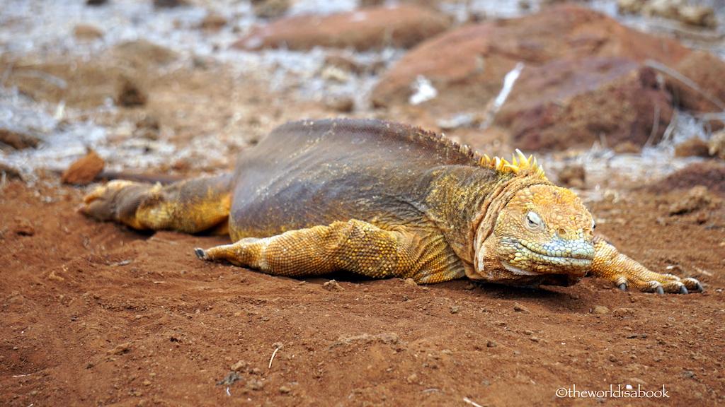 Galapagos North Seymour Island land iguana