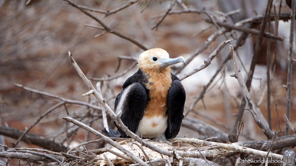 Galapagos baby frigatebird