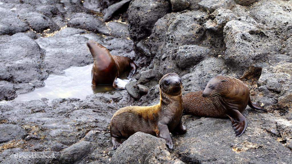 Galapagos baby sea lions