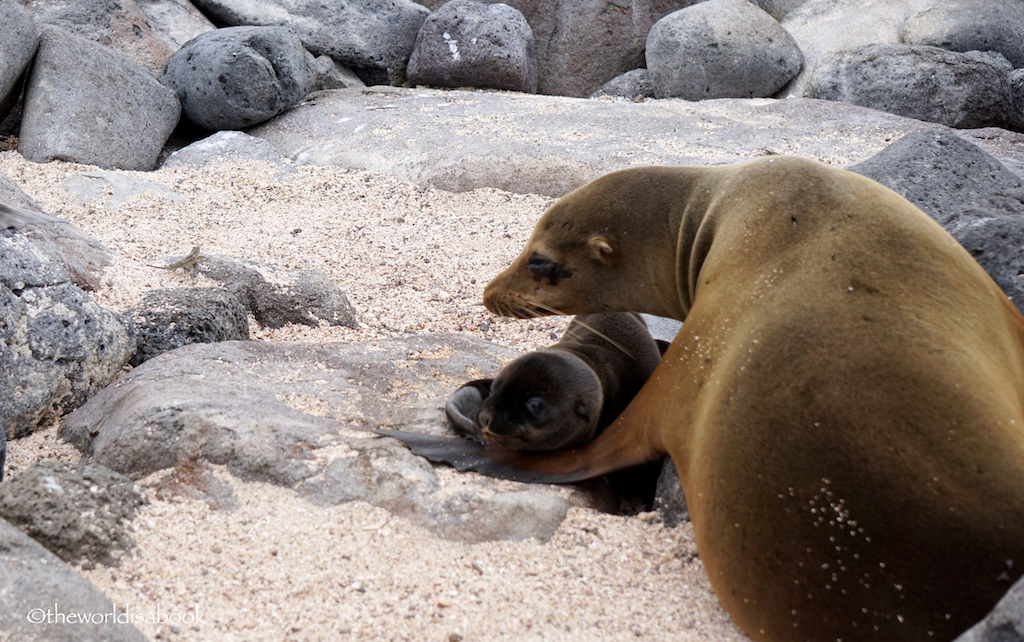 Galapagos mother and baby sea lions