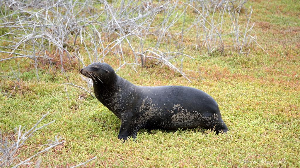 North Seymour Island sea lion