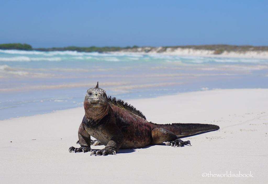visiting the marine iguanas at tortuga bay galapagos